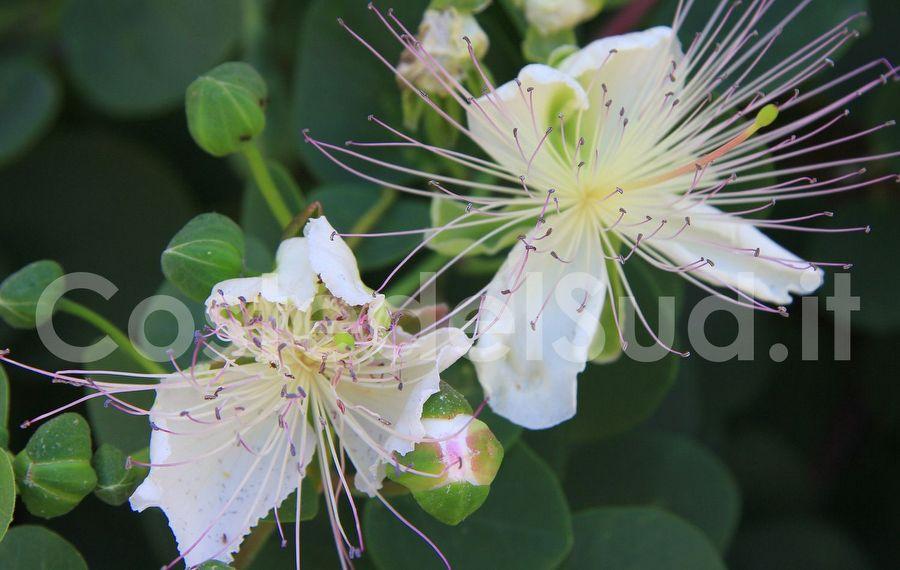 fiori Di Capperi